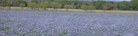 """Texas Bluebonnet Field"" by Dave Whitinger"